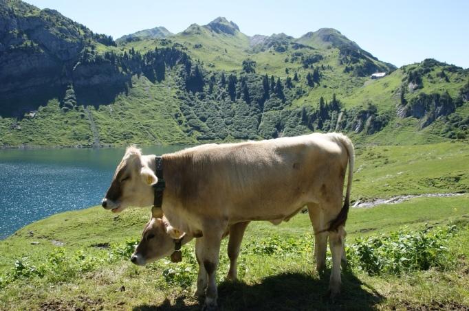 Zweiköpfige Lechweg-Kuh (Foto: Hikekarin.com)