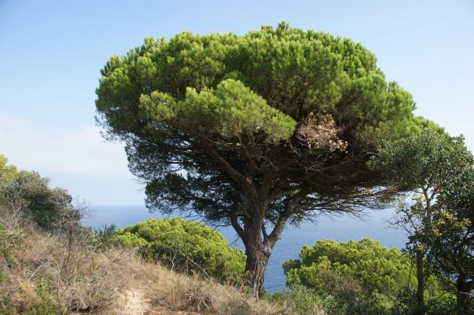 Wie Parkbäume wirken manche Pinien (Foto: Hikekarin.com)