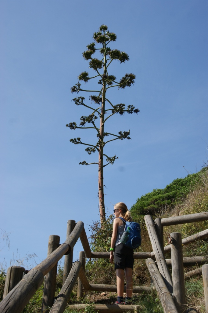 Ein vertrockneter Blütenstand der Agave (Foto: Hikekarin.com)
