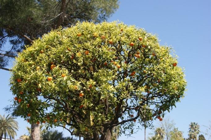 Im April gibt es noch Mandarinen an den Gartenbäumen (Foto: Hikekarin.com)