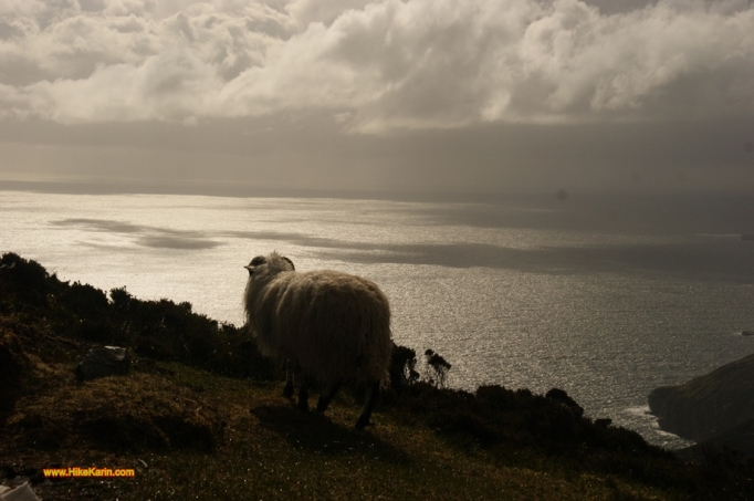 Sheep on donegals sea