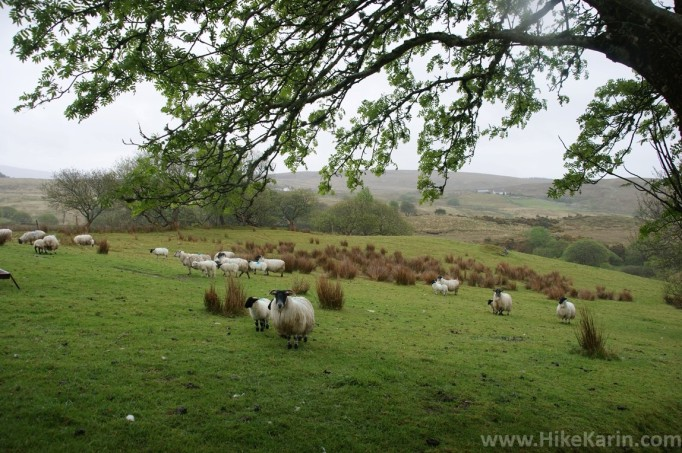 Irische Schafe- sehenswert!
