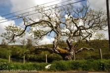 Der alte Baum ist ein echter Hingucker